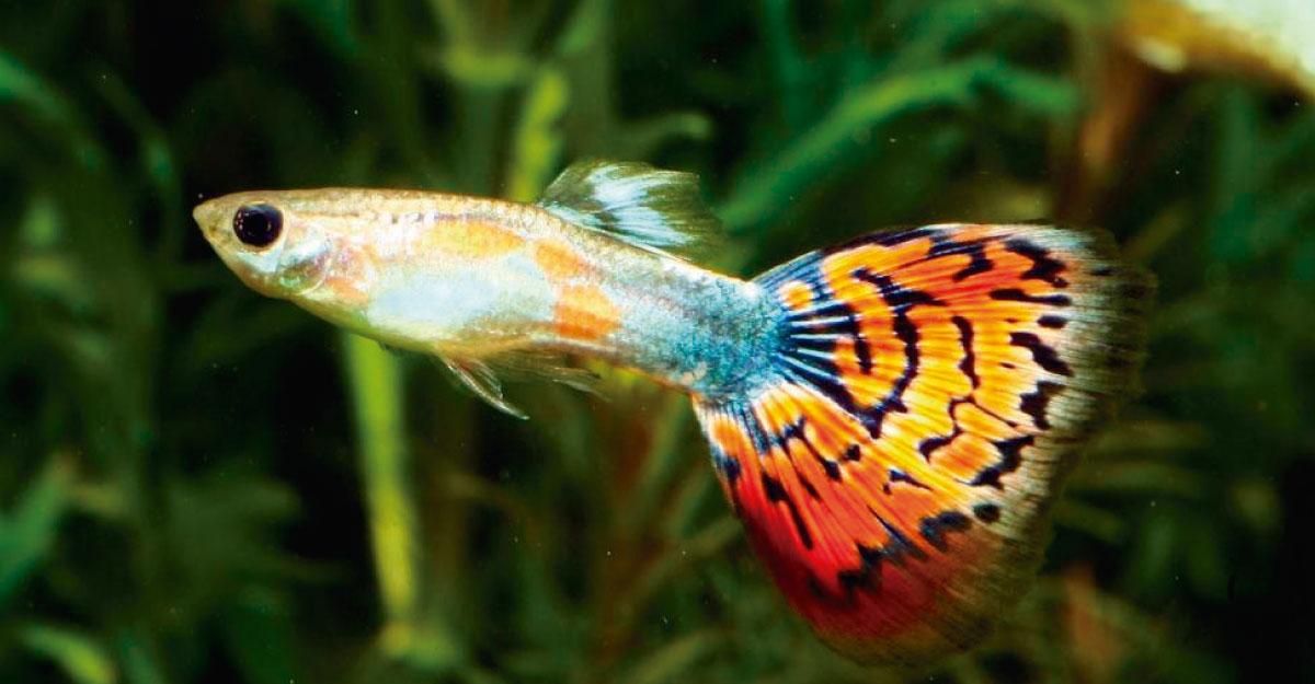 Peces acuario el dorado for Lista de peces tropicales para acuarios